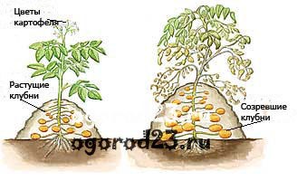 Посадка картофеля 7