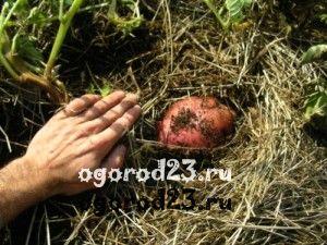 посадка картофеля 3