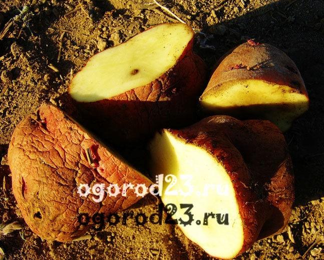 Посадка картофеля 4