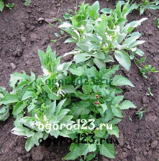 Обработка картофеля престижем вред или польза и вред