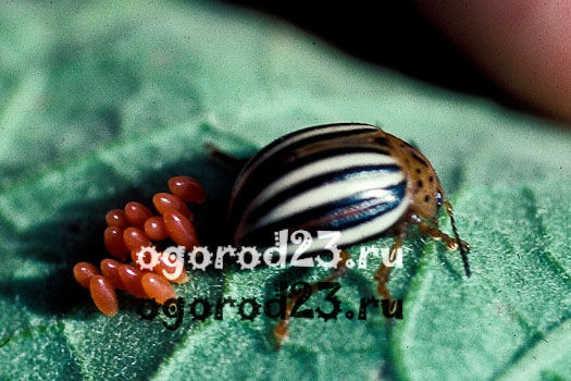 Колорадский жук методы борьбы 1