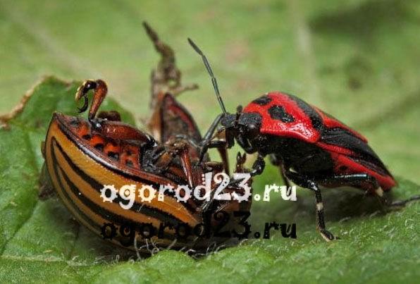 Дачникам продадут клопов для уничтожения колорадского жука