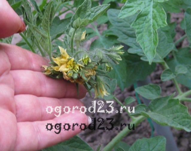 пасынкование помидоров 2