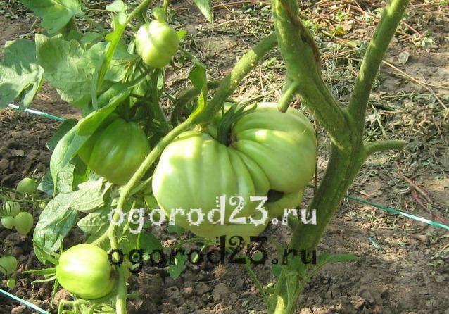 пасынкование помидоров 3