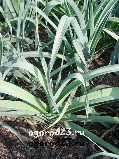 Выращивание лука порея