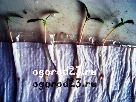 Рассада в пеленках: посадка, выращивание и пикировка рассады в