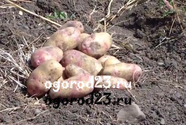 выращивание картофеля 4