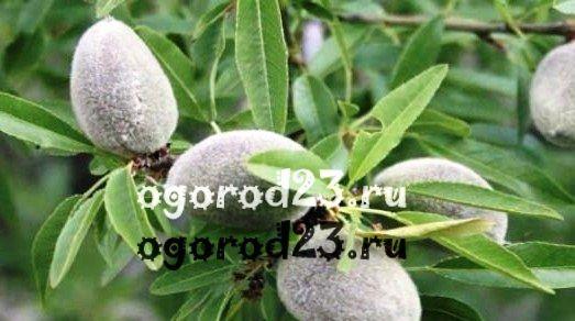 Полезные свойства миндаля - выращивание на юге России