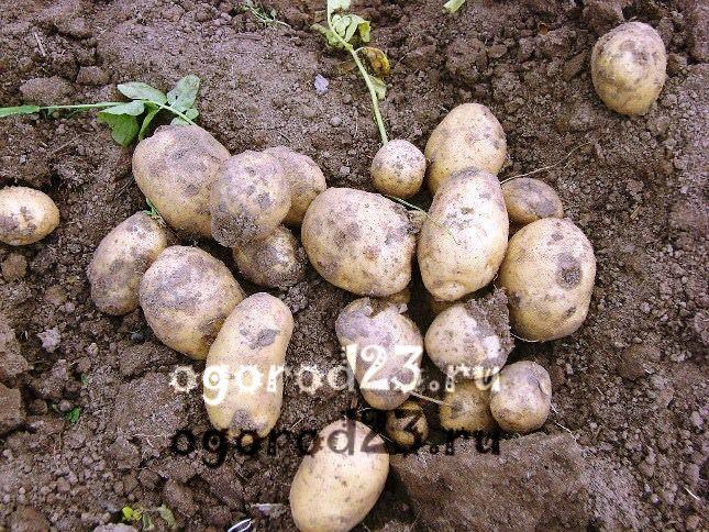 сорта картофеля 1003