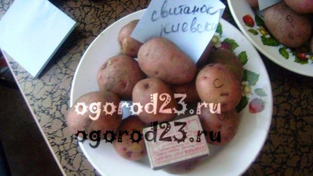 сорта картофеля 1001