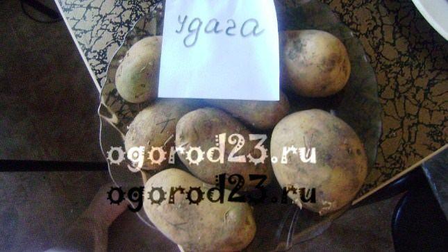 сорта картофеля 1000