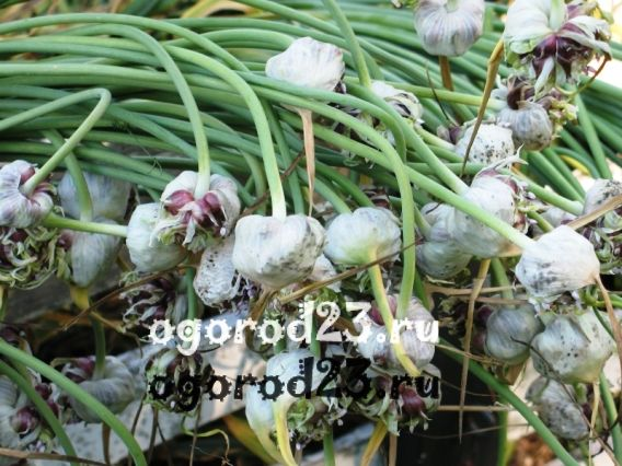 Выращивание чеснока - бульбочки