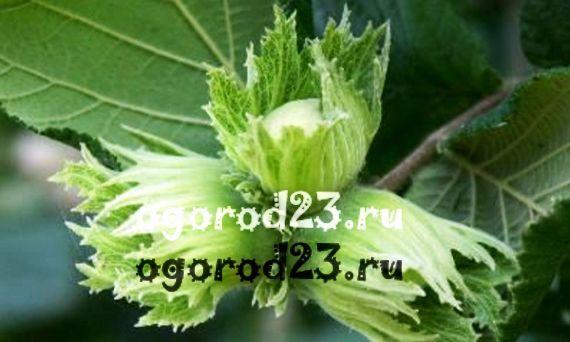 Фундук – сорта, польза 3