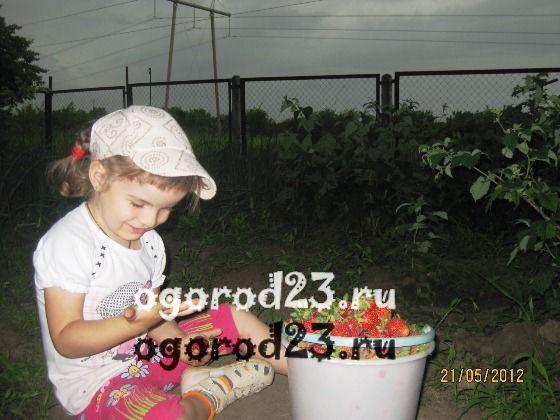 выращивание клубники, посадка и уход