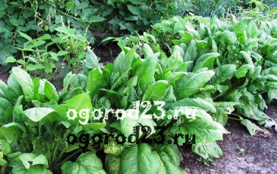 Выращивание шпината в открытом грунте 24