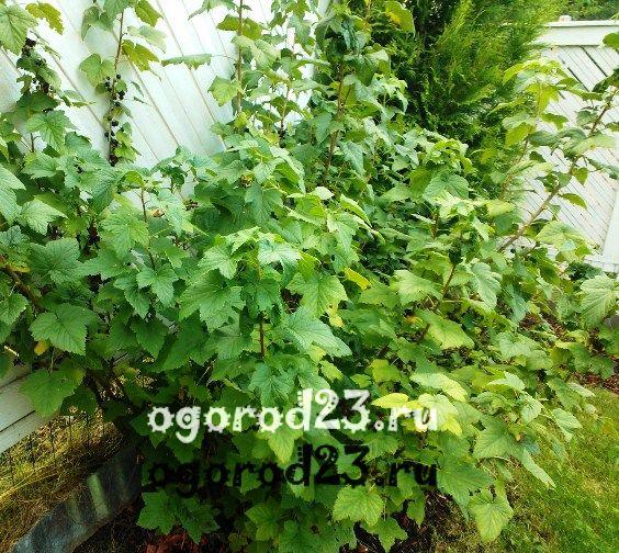 Черная смородина - вырщивание