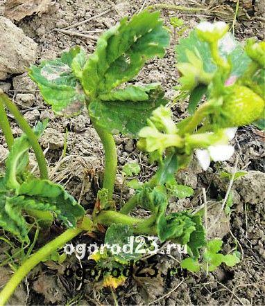 выращивание клубники, посадка и уход - вредители - стеблевая нематода