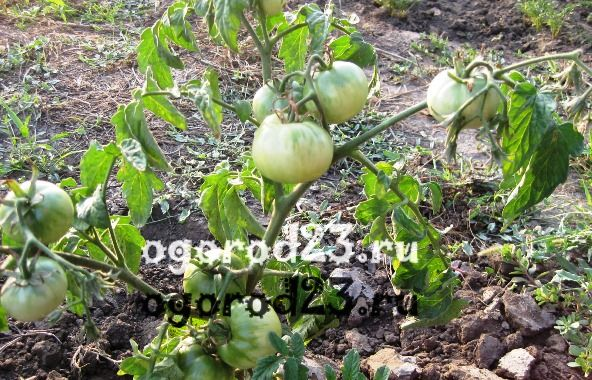 Белые пятна на помидорах в теплице: на рассаде, листьях, плодах, причины появления, симптом каких заболеваний, способы лечения 36