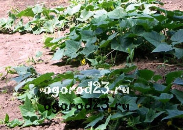 посадка огурцов в открытый грунт выращивание