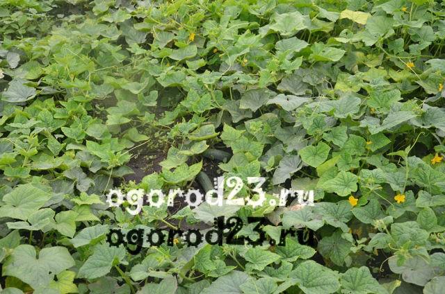 Выращивание огурцов для открытого грунта 67