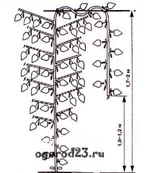 Схема формирования огурцов с боковым ветвлением