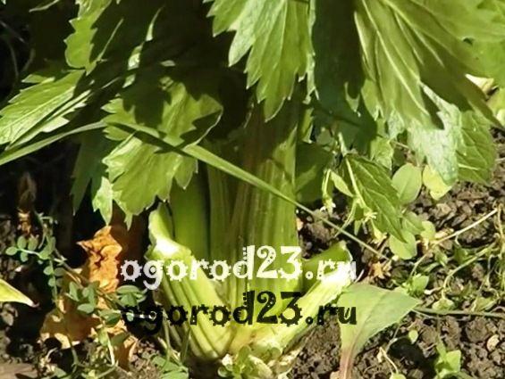 Выращивание сельдерея 6