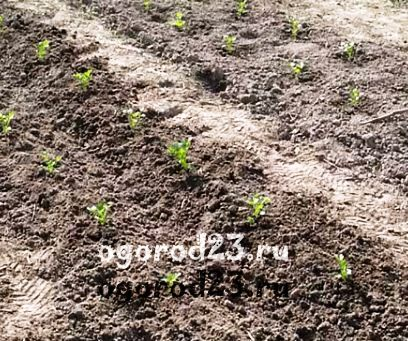 Рассаду высадили в гребни