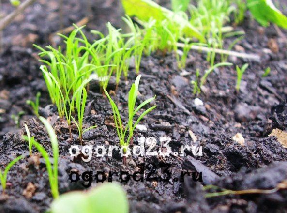 выращивание укропа - всходы