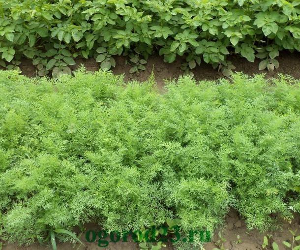 выращивание укропа 66