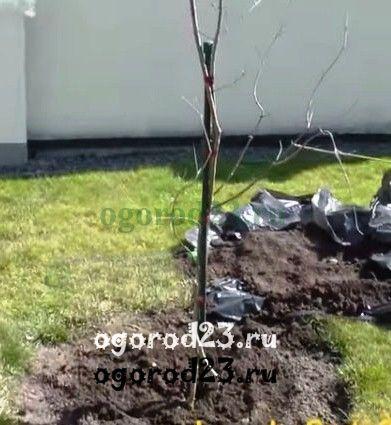 Выращивание кизила посадка и уход 3