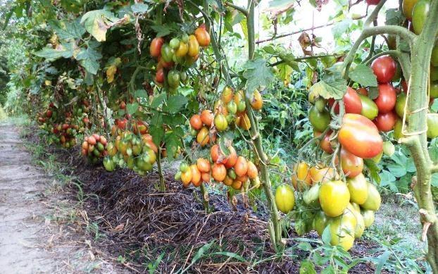 подкормки помидоров внекорневые и корневые