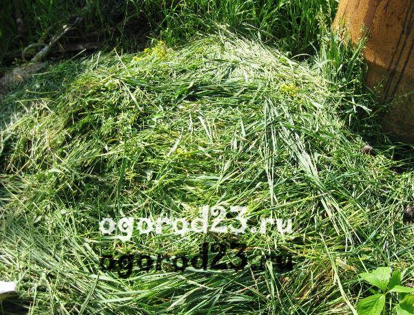 крапива, трава для зеленого удобрения