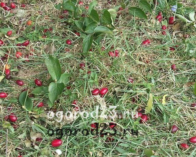 Выращивание кизила посадка и уход 7