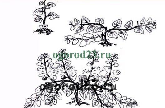 Выращивание арбузов в открытом грунте прищипывание 36