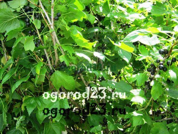 Смородина черная – уход, выращивание, вредители, болезни