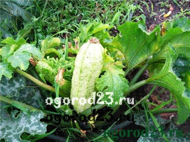 Вредители малины с фото и   ATMAgro