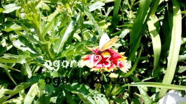 Гайлардия – солнечный цветок на вашем