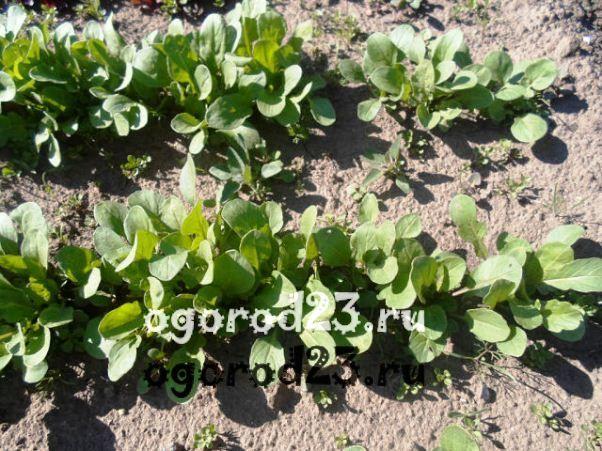 Рукола и выращивание 29