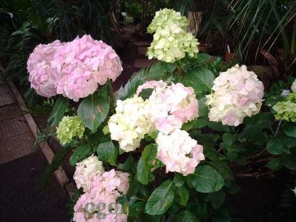 Гортензия-садовый цветок
