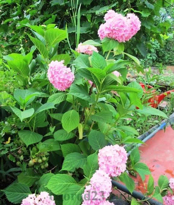 гортензия садовая фото уход