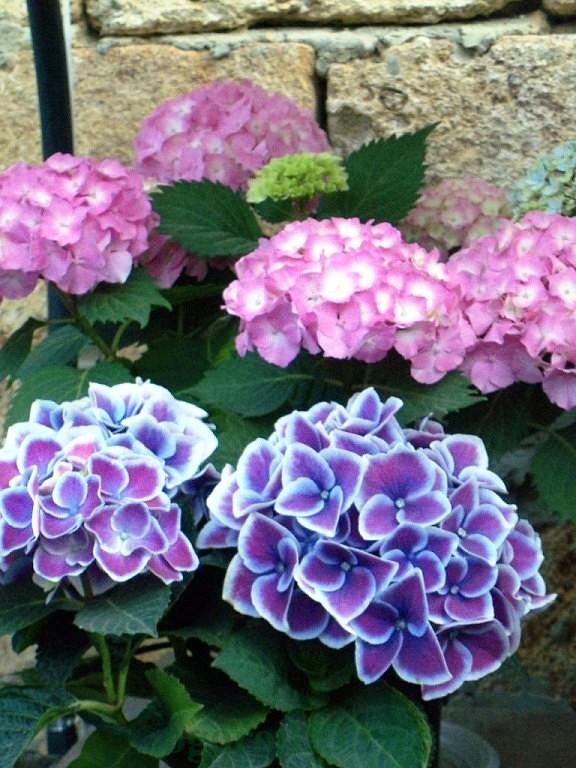 гортензия садовая многолетняя посадка и уход фото