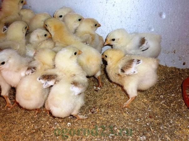 как вырастить цыплят1