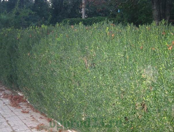 Забор из живой изгороди - самшит