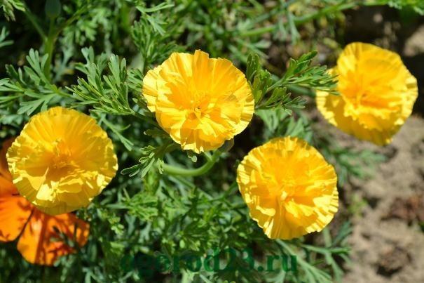 посадка цветов под зиму 61