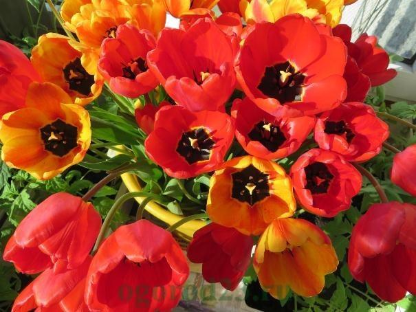 выгонка тюльпанов 6