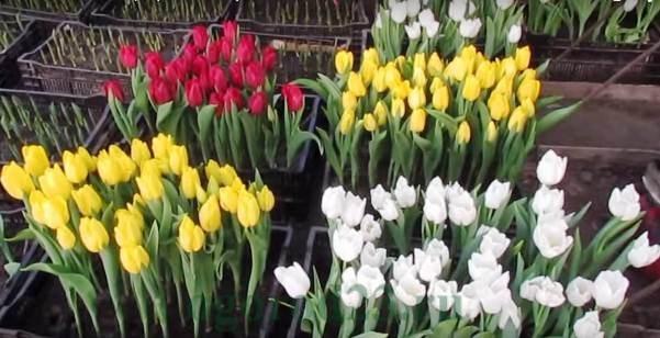выгонка тюльпанов 4