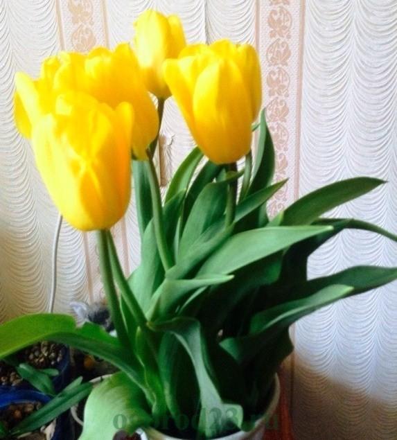 Тюльпани на вигонку  c5a9fb814dcfa