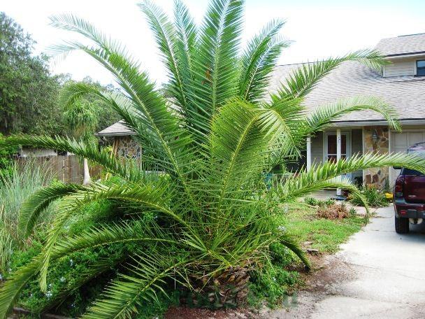 виды пальм