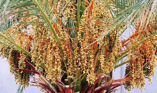 виды пальмы 2