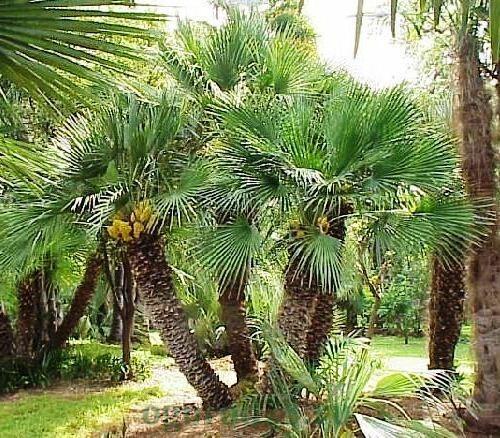 виды пальм 7
